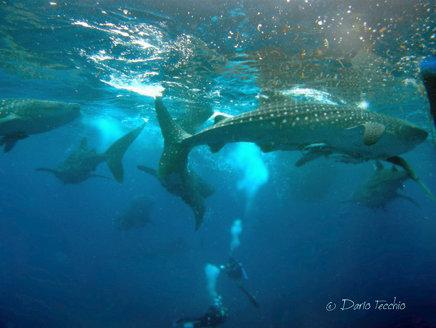 diving_with_whale_sharks_in_indonesia