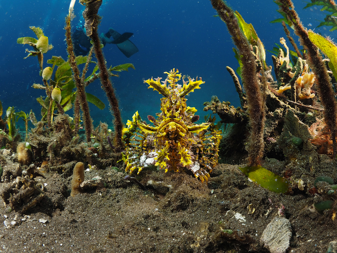 man_size_forest_ofsoft_coral_diving_alor