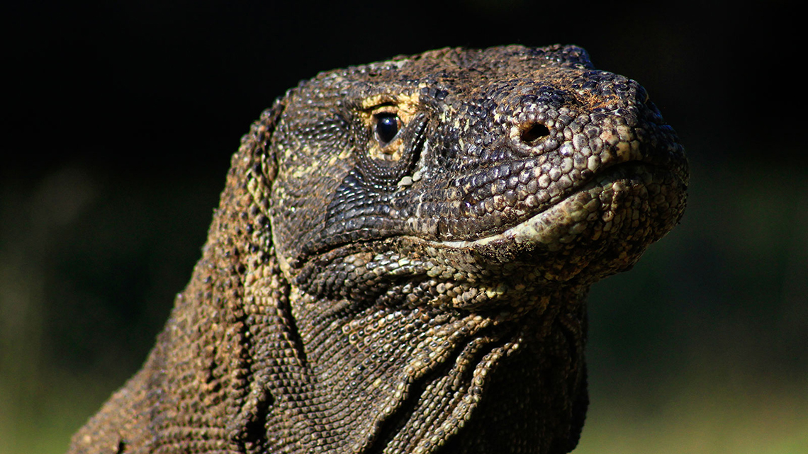 tiare_liveaboard_diving_komodo_dragon