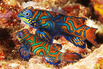 Banda_Sea_Mandarin_Fish