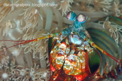 Peacock Mantis Shrimp Odontodactylus Scyllarus Photo Courtesy by Oscar Miralpeix for Cruising Indonesia