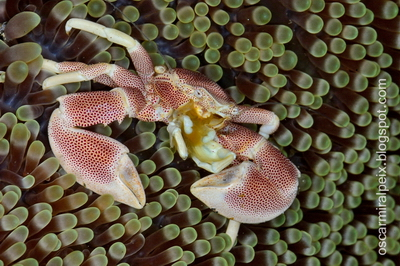 Porcelain Crab Neopetrolisthes Maculatus Photo Courtesy by Oscar Miralpeix for Cruising Indonesia