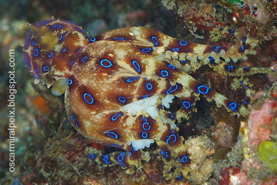 Blue-Ringed Octopus Hapalochlaena Lunulata Photo Courtesy by Oscar Miralpeix for Cruising Indonesia