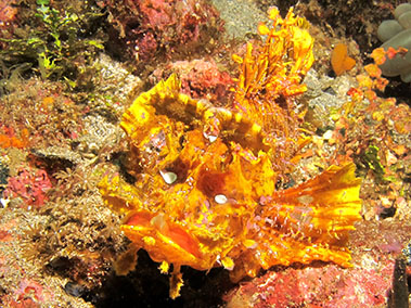 weedy_scorpionfish_diving_in_alor