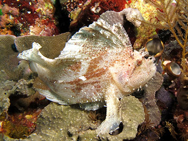 leaf_scorpionfish_diving_in_alor