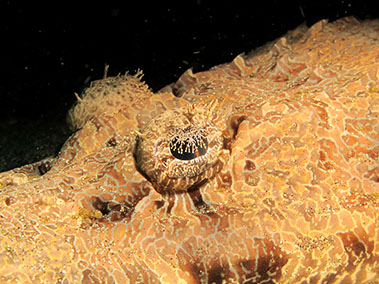 crocodile_fish_diving_in_alor