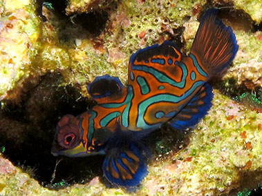 mandarin_fish_diving_in_alor