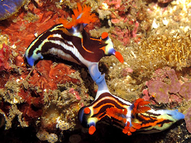 nudibranch_mating_diving_in_alor
