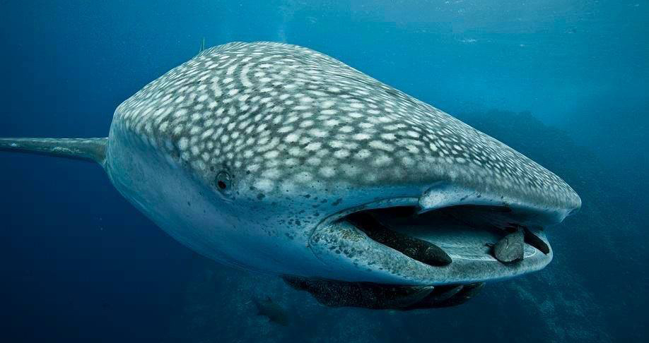 Whale sharks in Cocos Island