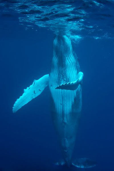 humpback_whale_in_cocos_island