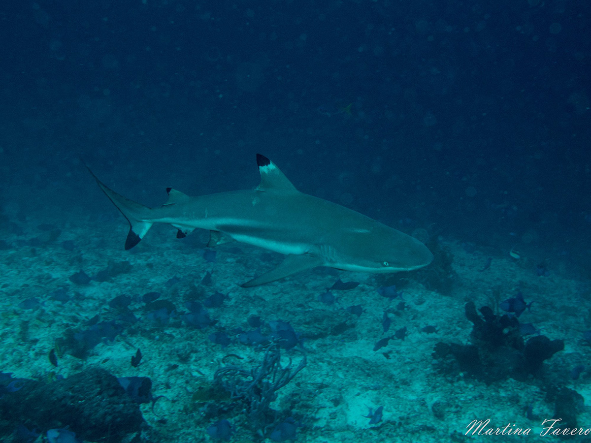 diving_maluku_black_tip_shark