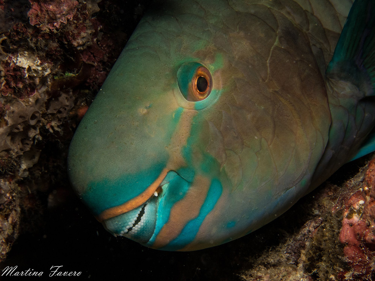 diving_maluku_parrot_fish