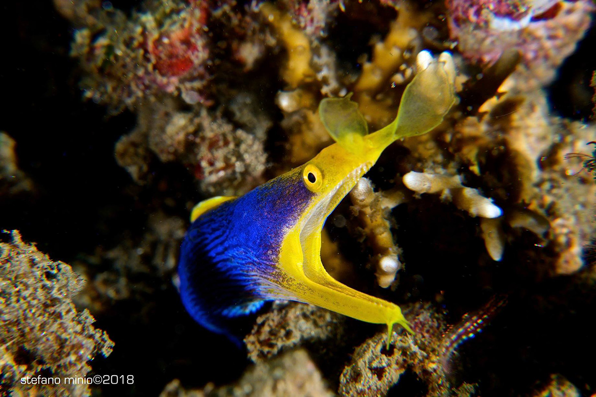 diving_maluku_ribbon_eel