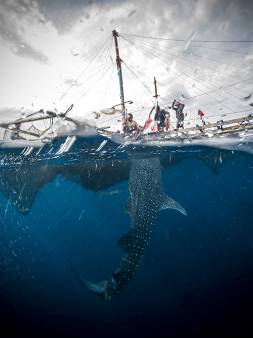 whale_sharks_cendrawasih_bay_indonesia