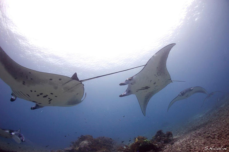 whirpool_of_oceanic_mantas_at_komodo
