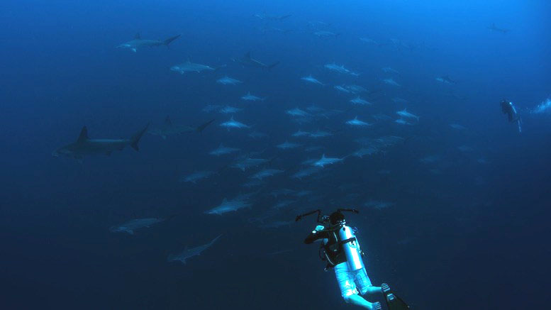 diving with pelagic fish in indonesia