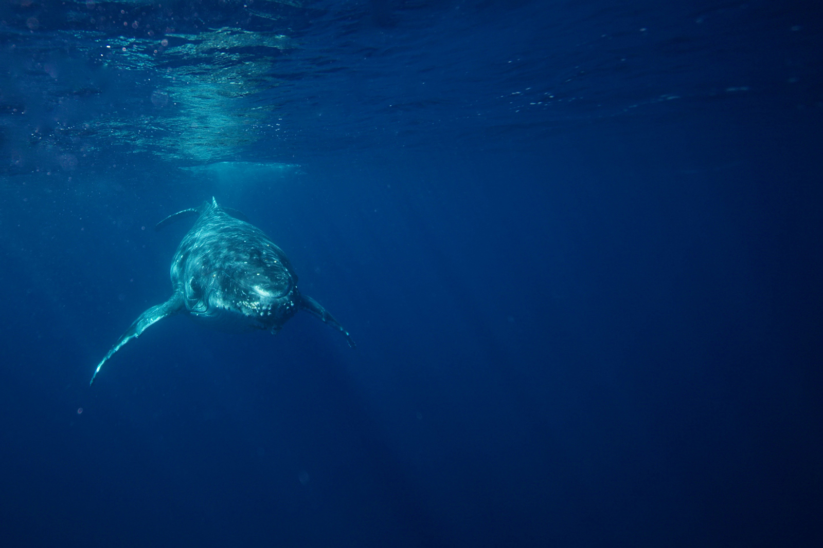 swimming_with_humpback_whales_in_tonga