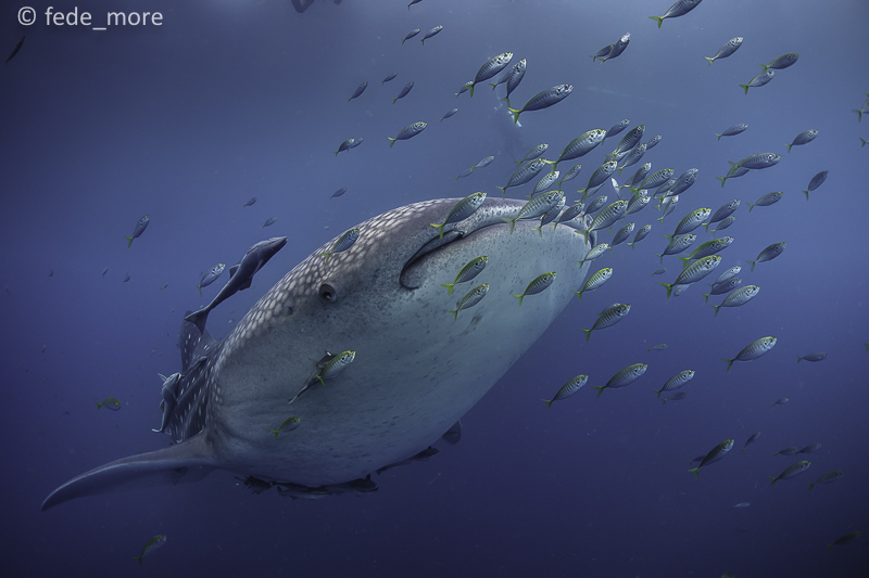 whale_shark_cendrawasih_bay_by_fede_more