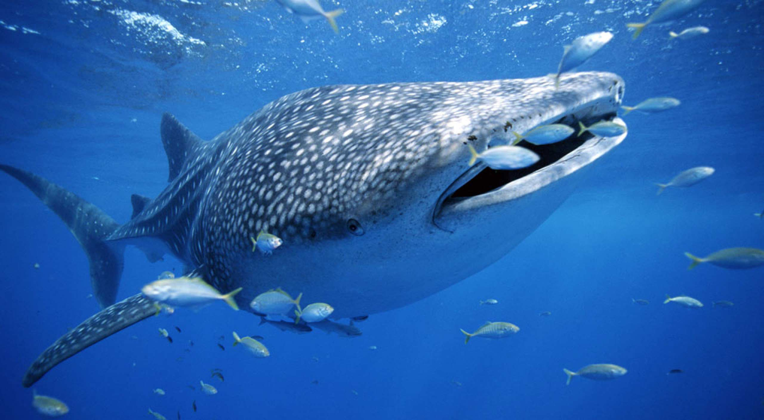 World class dive destinations - Whale Shark encounters