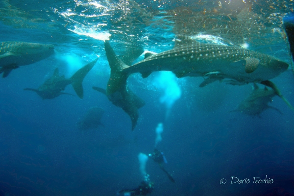 whale sharks of cendrawasih bay indonesia © Cruising Indonesia